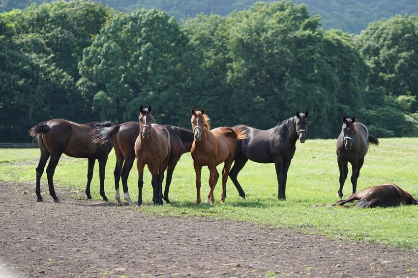 来訪者に気づく募集馬たち。ビックレッドファーム明和