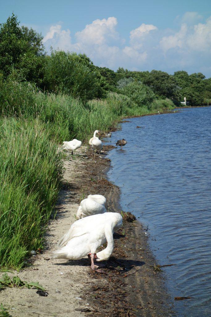 ウトナイ湖 湖畔 羽を休める白鳥